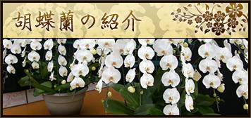 胡蝶蘭の紹介